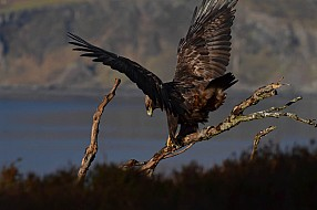 Golden Eagle and water