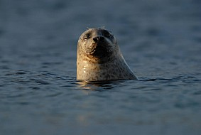 The common and Grey seal both live in and around the lochs of Scotland
