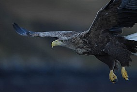 The Sea Eagle is the largest bird of prey in UK