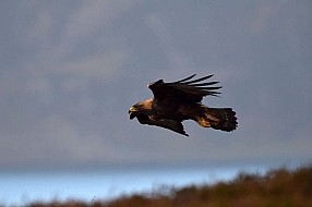 The Golden eagle's perfect flight