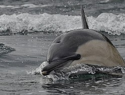 Common dolphin close up