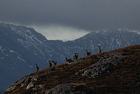 Red deer roaming the rugged land, Isle of Skye.