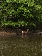 Red deer roaming the waters edge