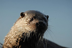 Patience will allow you to see otters on the beaches of Skye