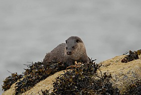 The European otter